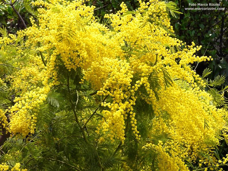 Buon 8 marzo! Ecco le mimose… | Blog di Marco Rizzini